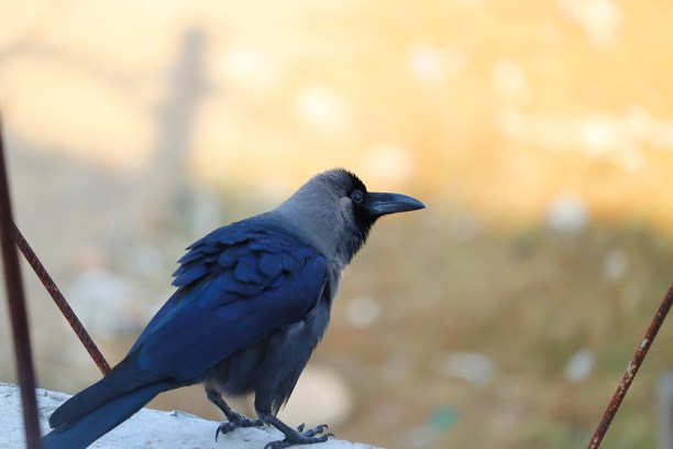 The house crow (Corvus splendens), also known as the Indian, greynecked, Ceylon or Colombo crow, bird image