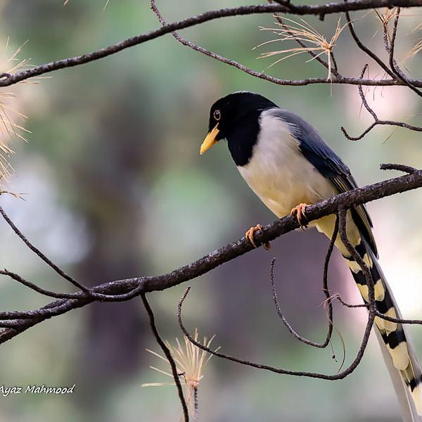 Yellow-billed blue magpie (Urocissa flavirostris)