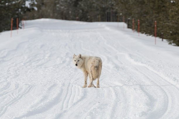 Alpha female of the Canyon Pack in Yellowstone National Park walking down the snow road.