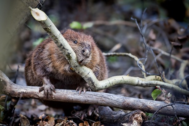 North American beaver, (Castor canadensis), hauls a branch back to its lodge in Denali National Park and Preserve in Alaska.