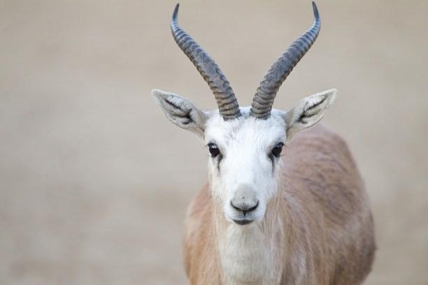 P8C1GC male black tailed gazelle portrait, male goitered gazelle portrait