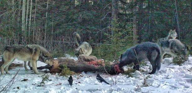 The Bow Valley Wolf pack eats an elk it took down near the highway. The carcass was moved by Parks Canada staff to a safer location, and the wolves were captured here by wildlife cameras. (Parks Canada)