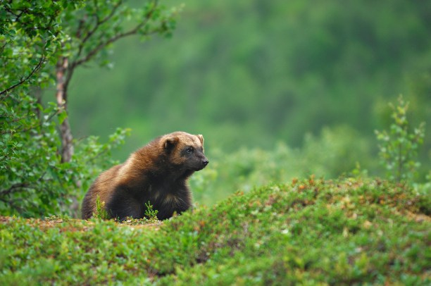 Wolverine (Gulo gulo), northern Norway, Scandinavia, Europe