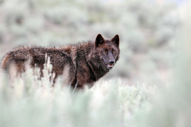 CRFJH7 A black wolf (Canis lupus) from the Mollies pack surveys the Lamar Valley in Yellowstone National Park, Wyoming, USA