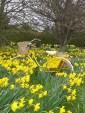 daffodil time 003
