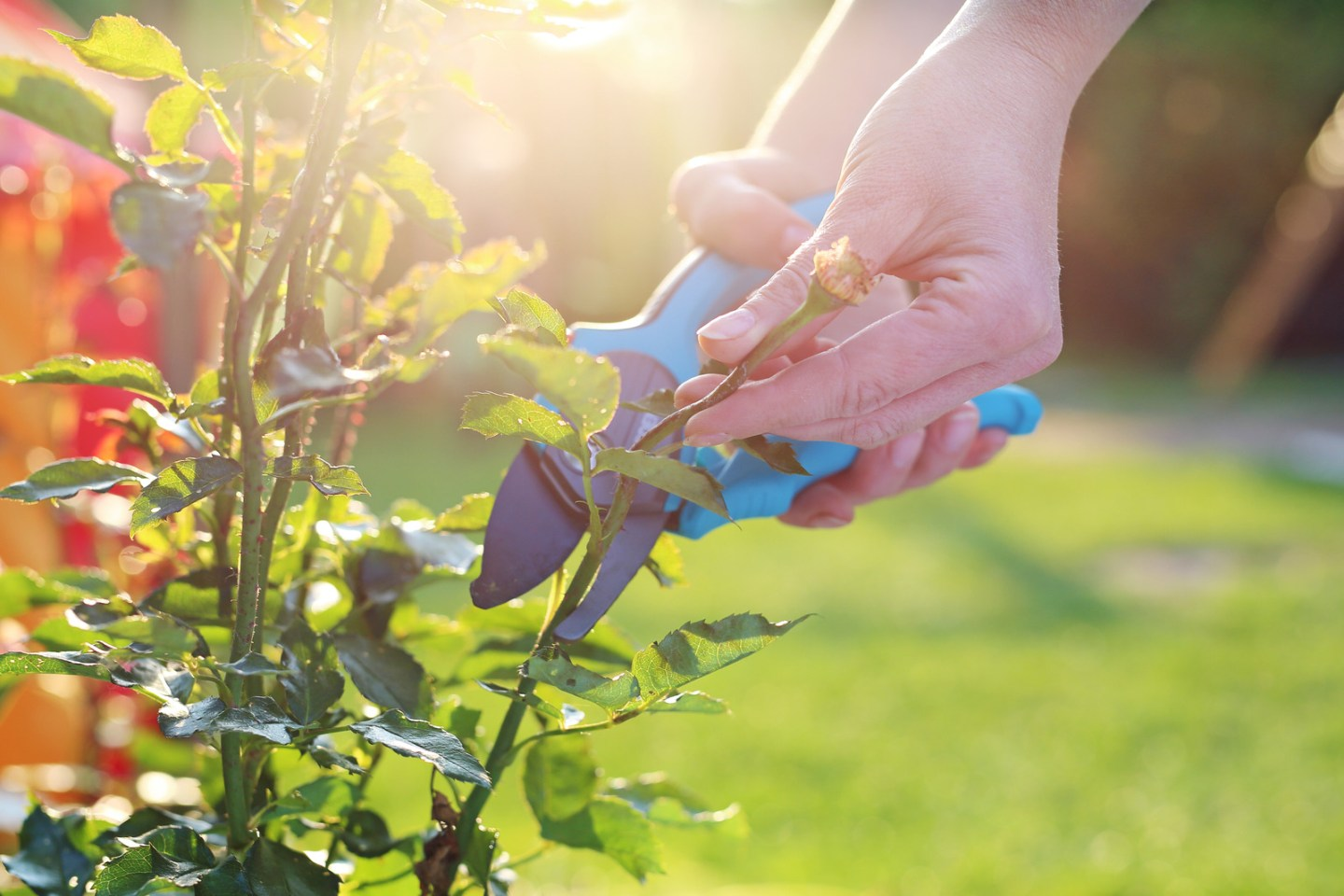 Gardener pruning shears cut shrubs roses