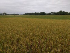 Matured, yellow rice, ready for harvesting!