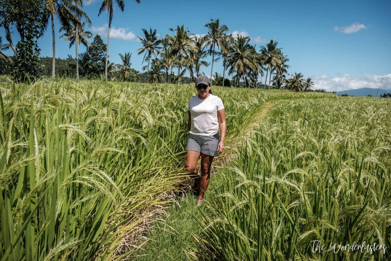 Rice Terrace Munduk