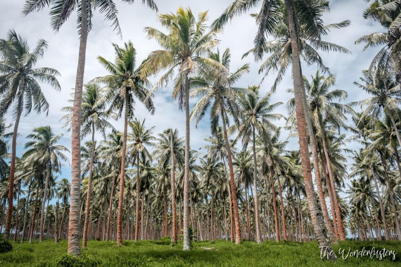 Cononut Field