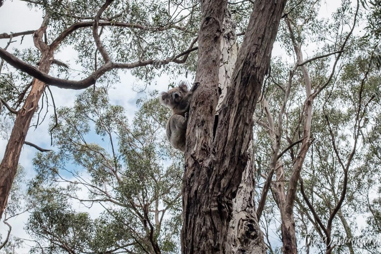 Koala at Cap Otway