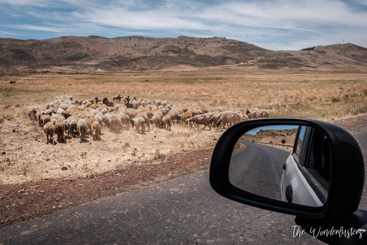 Cattle in the Atlas Mountains