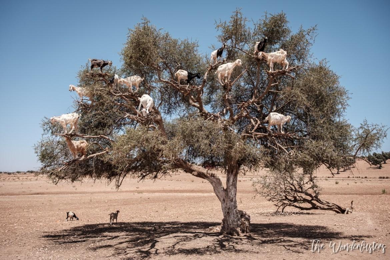 Goats on an Argania Tree