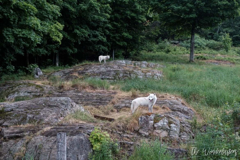 Arctif-Wolves