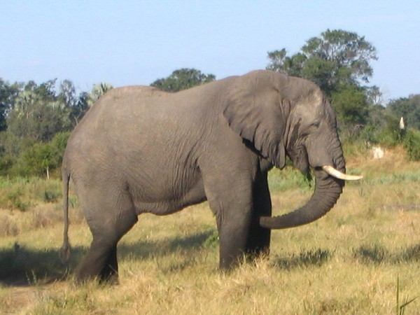 gajah _afrika