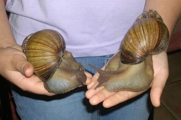 > Jul 14 - Giant African snails seized at Los Angeles airport - Photo posted in BX Daily Bugle - news and headlines | Sign in and leave a comment below!