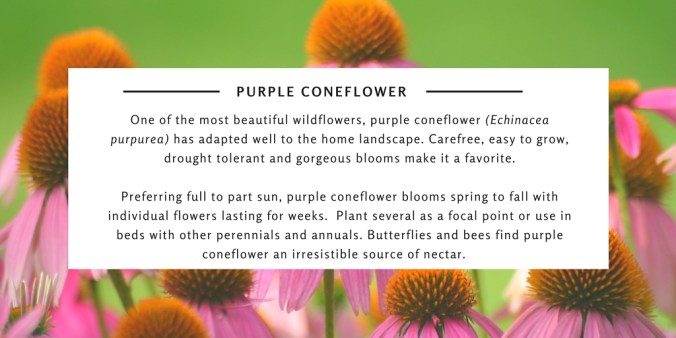One of the most beautiful wildflowers, purple coneflower (Echinacea purpurea) has adapted well to the home landscape. Carefree, easy to grow, drought tolerant and gorgeous blooms make it a favorite.