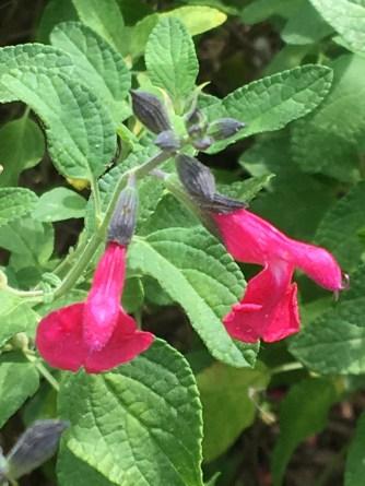 Salvia Coccinea