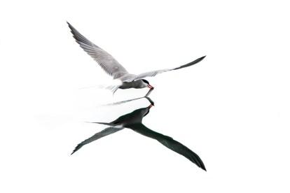 Common Tern by Reto Fürst