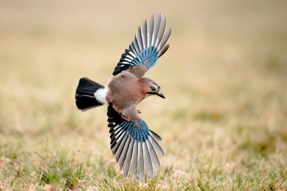 Eurasian Jay by Reto Fürst