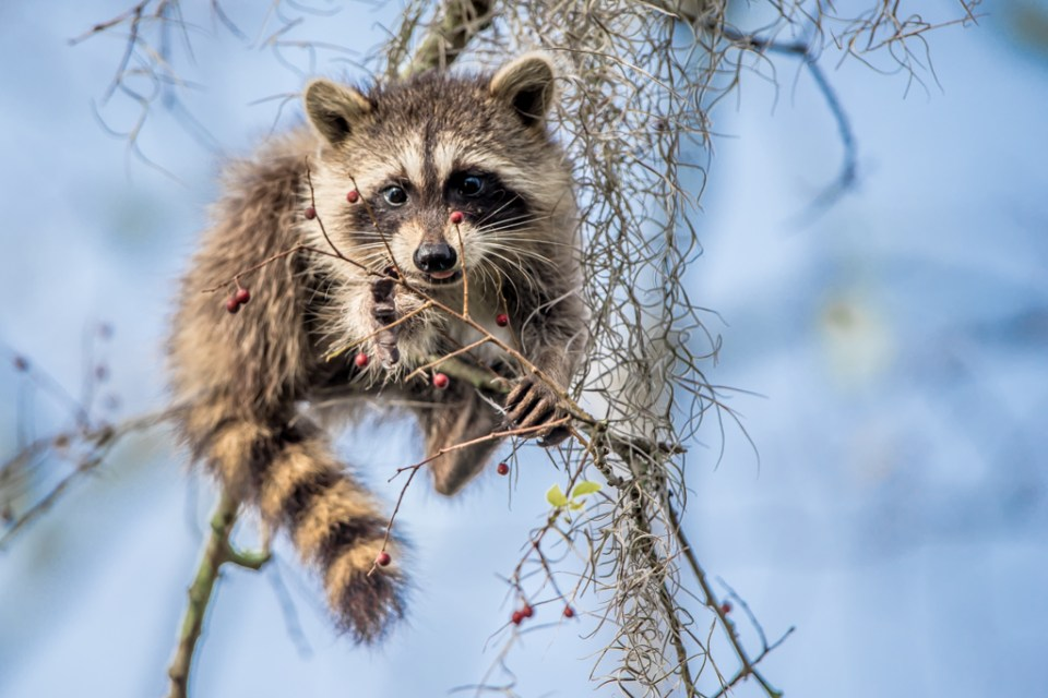 Raccoon by Reto Fürst