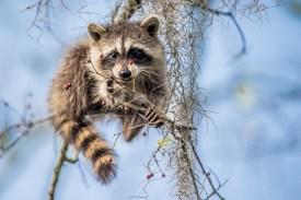Raccoon by Reto Fürst