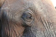 The oldest female in a herd is the matriarch. She is wise and leads the herd to food and water.
