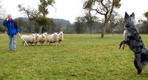 Border collie sheepdog standing on its hind legs with sheep close in the background