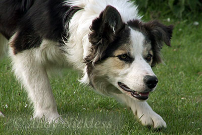Border Collie Doris gives the impression she's already a great sheepdog but she's not.