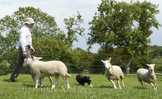 Andy demonstrating a sheepdog working sheep which are suitable for the purpose.