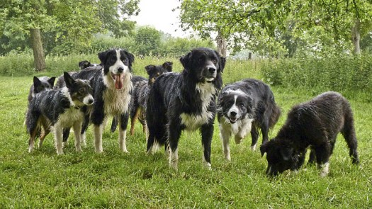 The sheepdogs of Kings Green Farm shelter from the rain under an oak tree