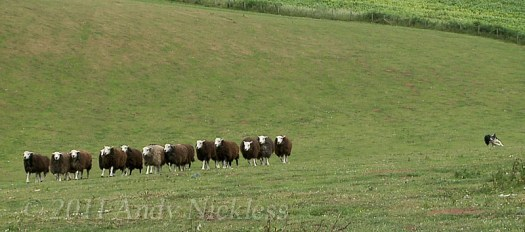 A working sheepdog flanking round a group of herdwick sheep.