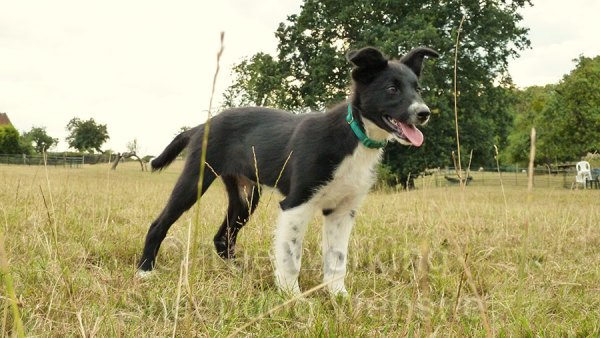 Fleck is a lovely example of a smooth coated border collie sheepdog puppy