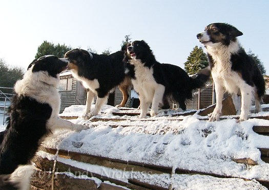 Border Collie Sheepdogs in the snow