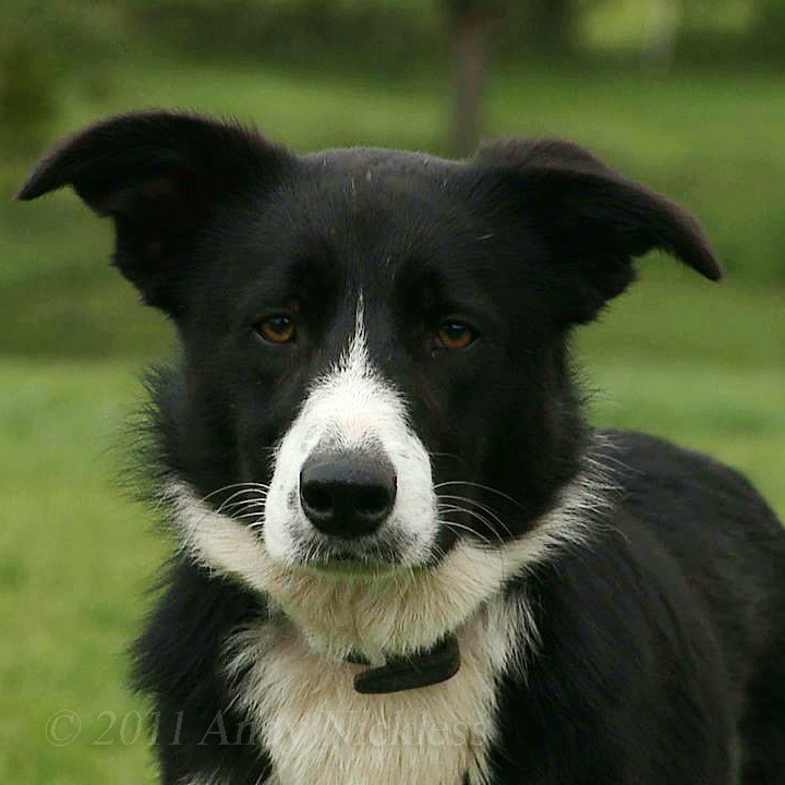 Max is a lovely smooth coated black and white collie