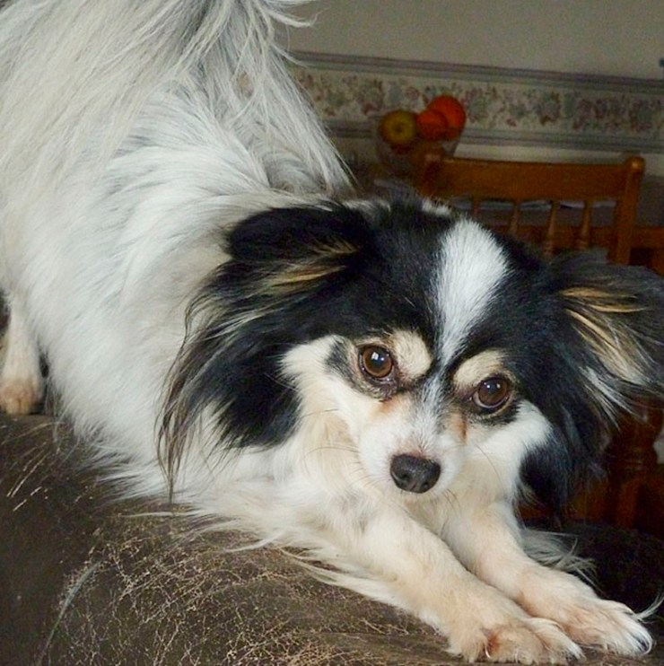 Chester is a black and white, long coated cross breed with Papillon ears