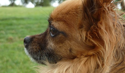 Tan longhaired Chihuahua Alfie gazes wisely into the distance