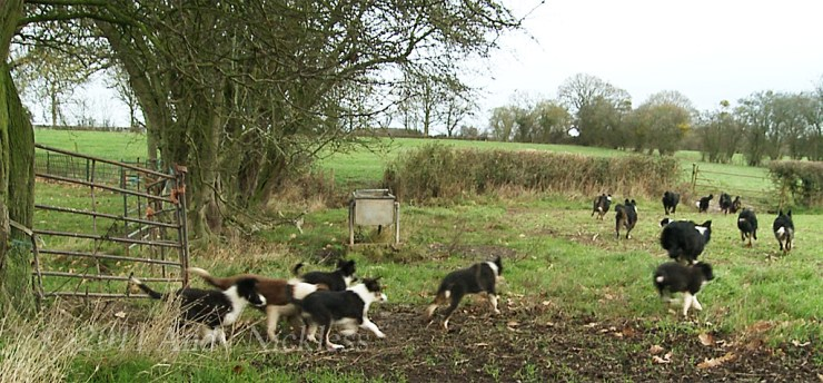 The puppies are determined to keep up with the big dogs