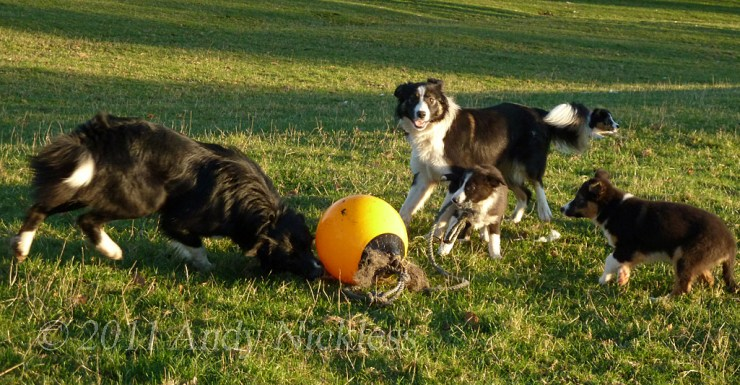 Our sheepdogs and puppies enjoy playing with a buoy