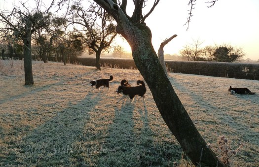 Sheepdogs in the early morning frost