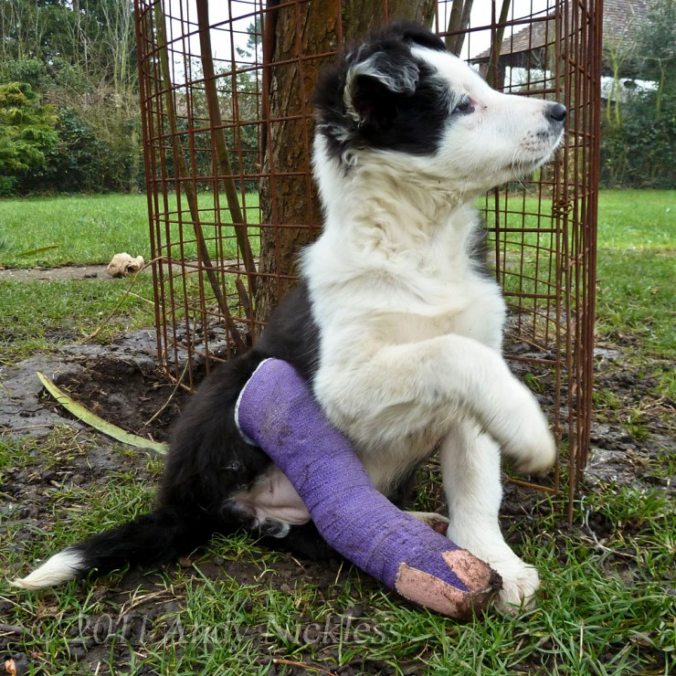 Border Collie puppy with it's leg in a purple plaster cast