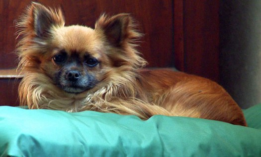 Alfie the Chihuahua chooses to catch up with his beauty sleep - not that he needs it, of course