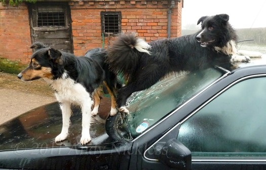 Two dogs on the bonnet of a car in frosty weather