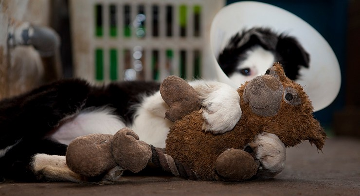 "Border collie weraing a ""Buster"" collar, fighting with a soft toy"