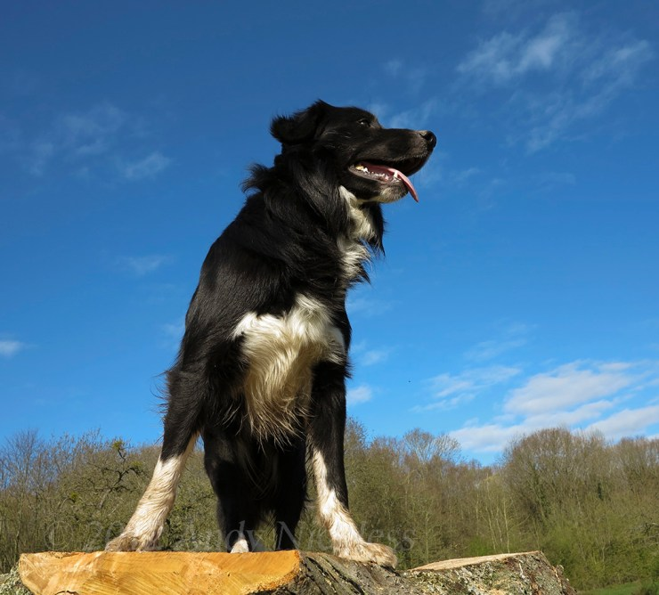 Rosewood Eli looking very regal on top of a tree stump with a glorious blue sky behind him.