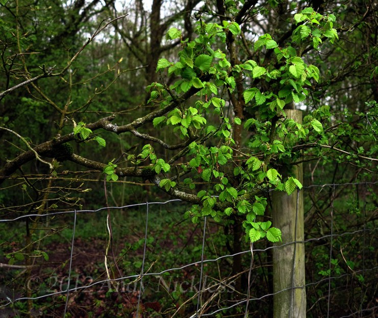 Delicate elm leaves in a spring hedge