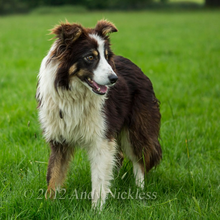 Rough coated red and white border collie sheepdog, Roy