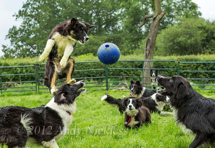 Scylla and some of the other dogs at play
