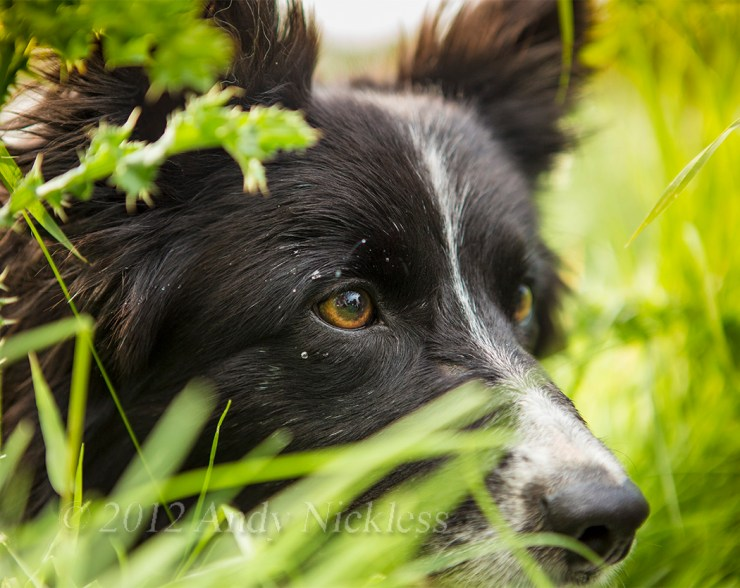 Sheepdog Pip at work yesterday