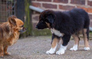 Chihuahua meets Border collie puppy