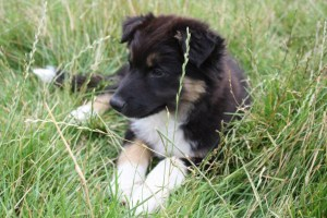 Lovely tri colour Border collie puppy relaxing